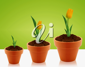 Yellow Tulips growing in three levels in clay garding pot.
