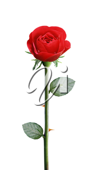 fresh red rose isolated on white background,, clipping path and alpha channel included.