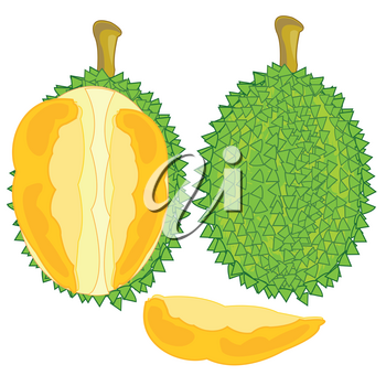 Vector illustration of the fruit durian and pulps in cut