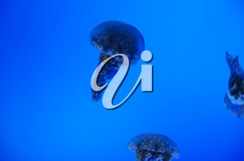 Three jellyfish in blue sea as a concept of wildlife