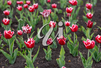 Beautiful red tulips in city garden close up
