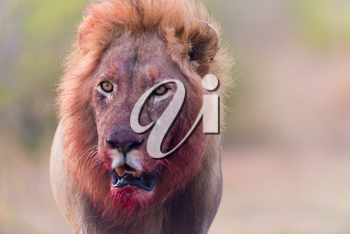 Male lion with bloody mane in the wilderness of Africa