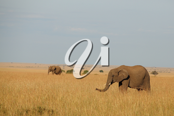 African Elephant in the wilderness of Africa