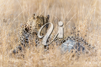 leopard in the wilderness of Africa