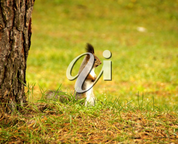 Royalty Free Photo of a Squirrel on the Grass by a Tree