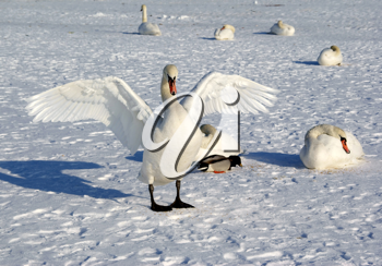 Royalty Free Photo of Swans in Winter