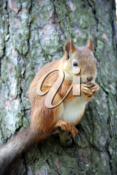 Royalty Free Photo of a Squirrel in a Tree With a Nut