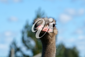 Portrait of an adult ostrich close up