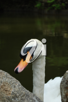 Royalty Free Photo of a Swan on a Lake