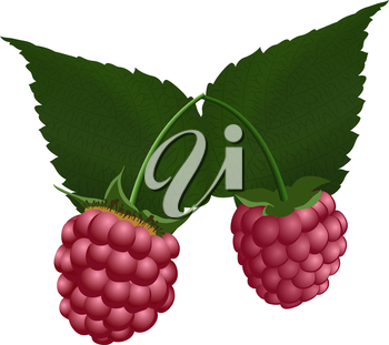 Two fresh raspberry. EPS 10 vector illustration with transparency.