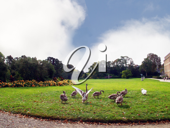 Royalty Free Photo of Geese in the Park of the Palace of Fontainebleau, France