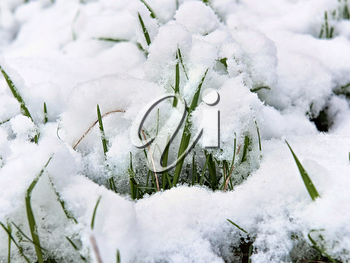 young shoots of grass under the snow close-up