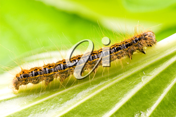 Royalty Free Photo of a Caterpillar on a Leaf
