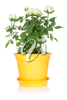 White roses in a flowerpot, isolated on a white background