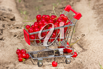 Red currant in a shopping cart on the  garden soil