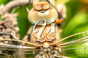 Macro shot of dragonfly. Showing of eyes and wings detail