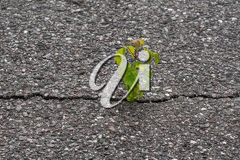 Young tree grow in a cracked asphalt. Rising sprout on dry ground.