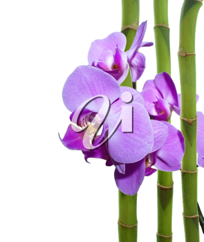 Violet orchid and bamboo sticks