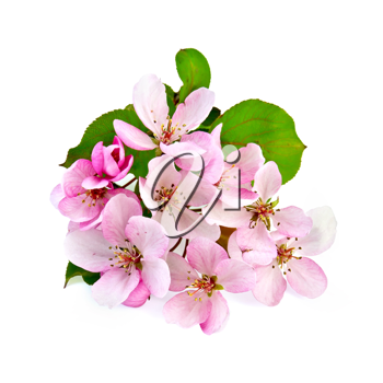 Pink flowers of apple with green leaves isolated on white background