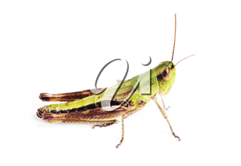 Royalty Free Photo of a Grasshopper