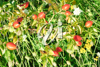 Royalty Free Photo of Rose Hips