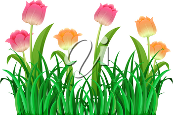 Pink and orange tulip flowers illustration