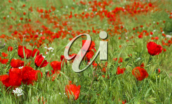 Royalty Free Photo of a Field of Poppies
