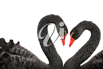 Black swans (Cygnus atratus) isolated on a white background