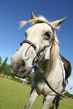 Saddled horse with a braid, ready for a ride