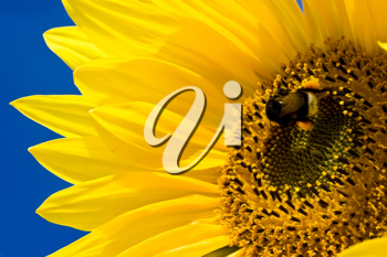 Royalty Free Photo of a Sunflower and Bumblebee