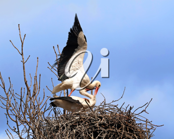 Royalty Free Photo of Mating Storks in a Nest