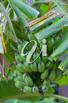 Royalty Free Photo of Bananas Growing in a Tree