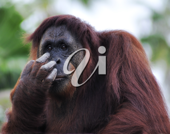 Royalty Free Photo of an Orangutan