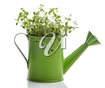 Royalty Free Photo of Fresh Thyme Herb In A Green Watering Can