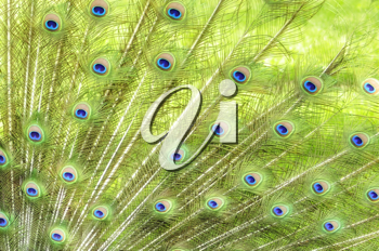 Royalty Free Photo of Peacock Feathers
