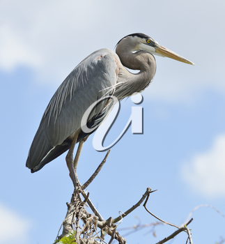 Great Blue Heron Perching On Tree Branches Against Blue Sky