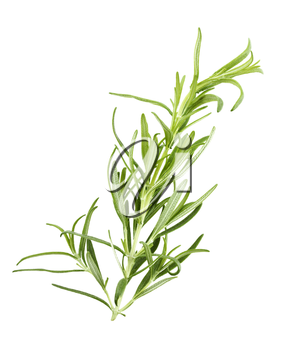 Branch Of Rosemary Isolated On White Background