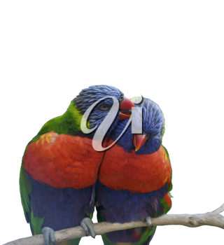 Digital Painting Of Rainbow Lorikeet Parrots