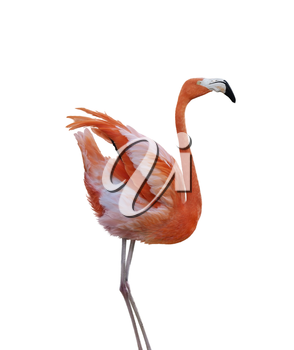 Pink Flamingo Isolated on White Background