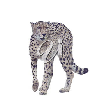 Digital painting of cheetah isolated on white background