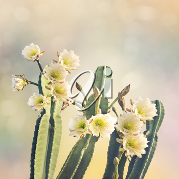 San Pedro Cactus with Beautiful White Flowers