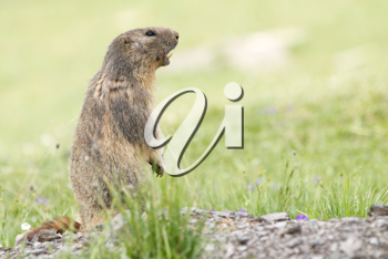 Alpine Marmot in the grass - Marmota