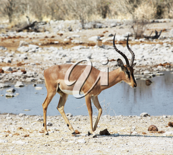 Royalty Free Photo of an Antelope