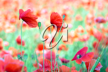Royalty Free Photo of Poppies in a Field