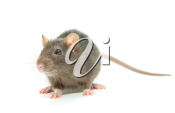 Royalty Free Photo of a Rat