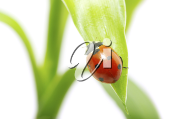 Royalty Free Photo of a Ladybug on Grass