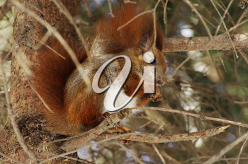 A squirrel hanging on tree