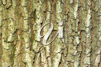 Texture coarse background of old tree