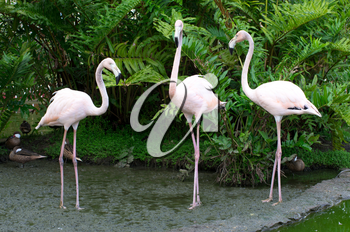 Image of  flamingos in the water