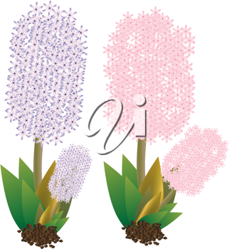 Royalty Free Clipart Image of Two Hyacinths